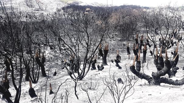 Der Anblick verbrannter Bäume nach einem Buschfeuer