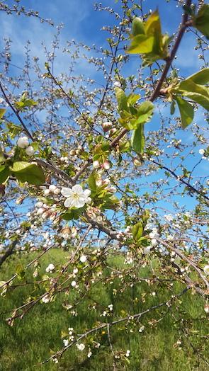 Apfelblüte in Garni