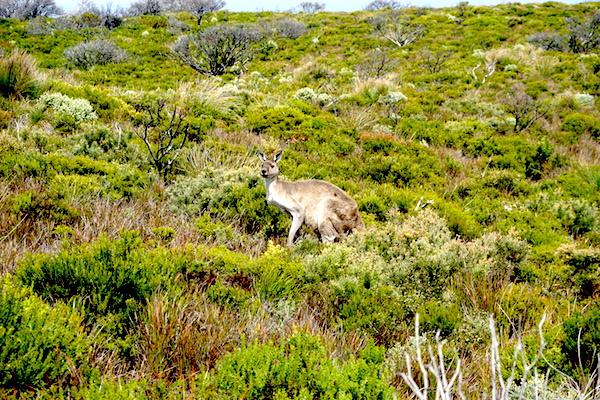 Anblick unseres ersten Känguruhs in WA