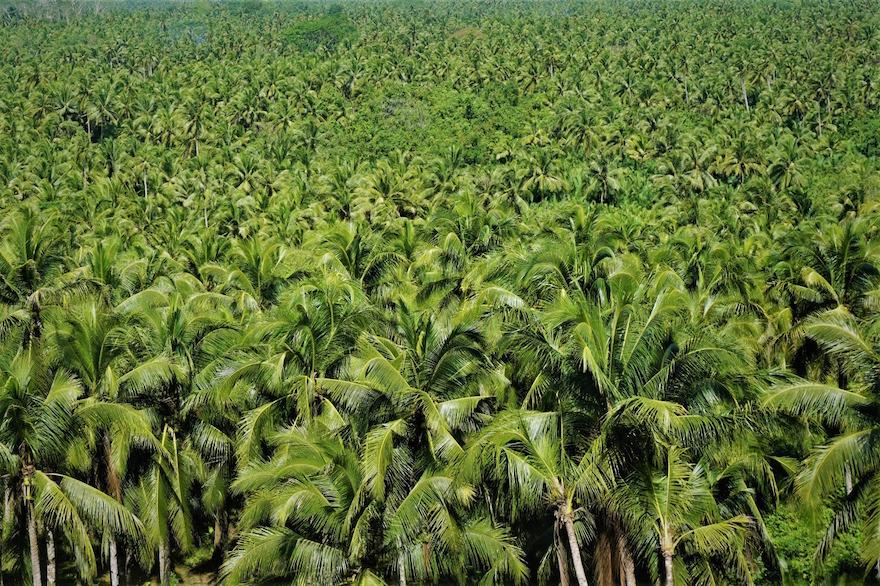 Siargao - Insel der Kokosnusspalmen