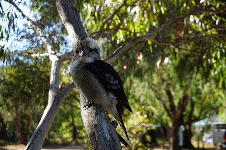 Treuer Begleiter und Sänger, der Kookaburra