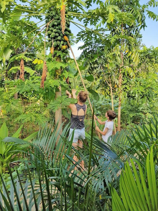 Ernte einer reifen Papaya auf Bohol